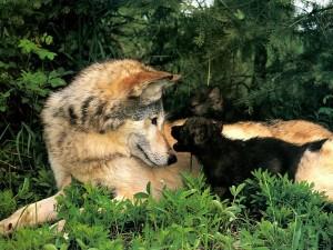4.Lobo y cachorro 300x225 Imagenes tiernas de amistad