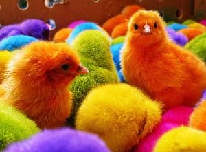 imagenes tiernas de pollitos de colores