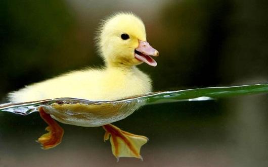 imagen tierna de patito nadando Imágenes tierna de la naturaleza