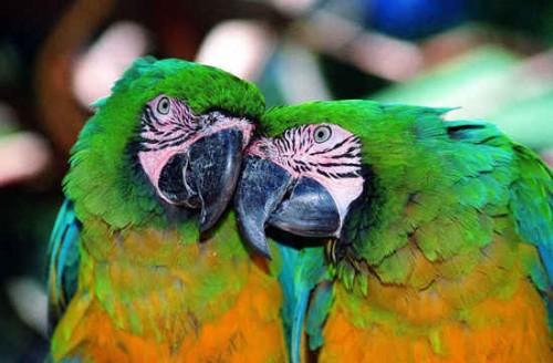 Papagayos enamorados
