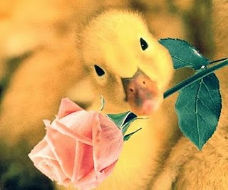 imagen romantica de patito Imgenes tiernas de patitos
