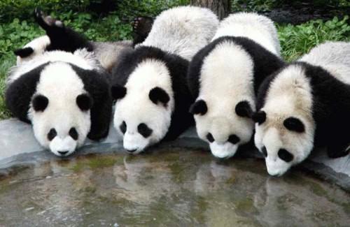 osos pandas bebiendo agua