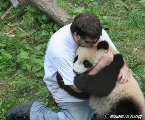 abrazo de oso panda e1346259556575 Imágenes tiernas de abrazos de osos