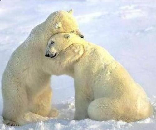 abrazo de oso polar e1346259217883 Imágenes tiernas de abrazos de osos