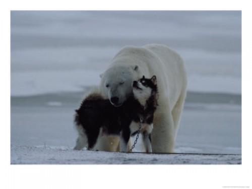 Oso polar y Husky