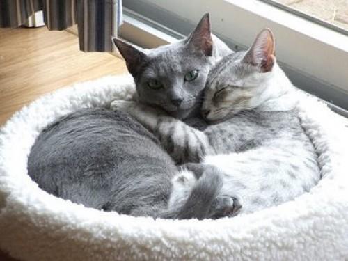 gatos enamorados e1347407480541 Imágenes de gatitos enamorados