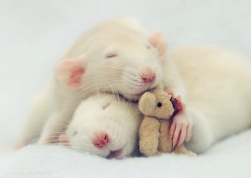 rata tierna e1346855297141 Imágenes lindas de ratoncitos para compartir