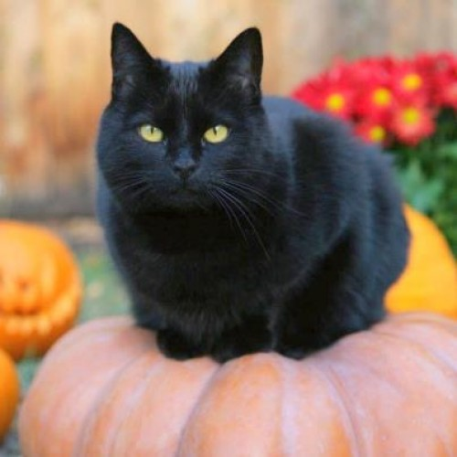 Gato negro de verdad