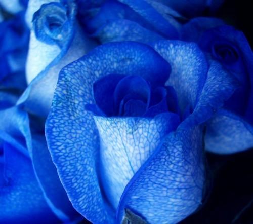 rosa1 e1350880553289 Imagenes tiernas de rosas azules