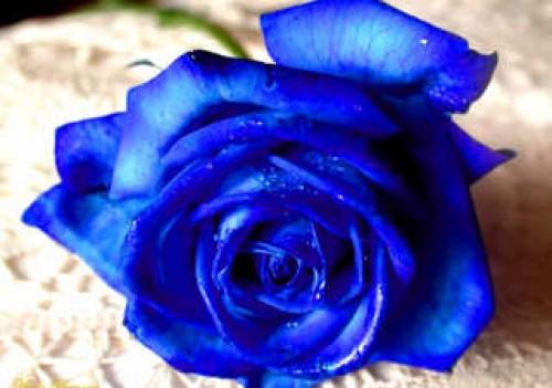 rosas2 e1350880571578 Imagenes tiernas de rosas azules
