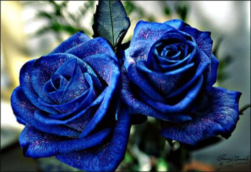rosas3 e1350880591386 Imagenes tiernas de rosas azules