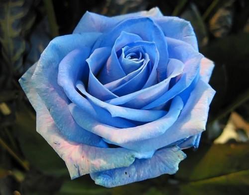 rosas4 e1350880613648 Imagenes tiernas de rosas azules
