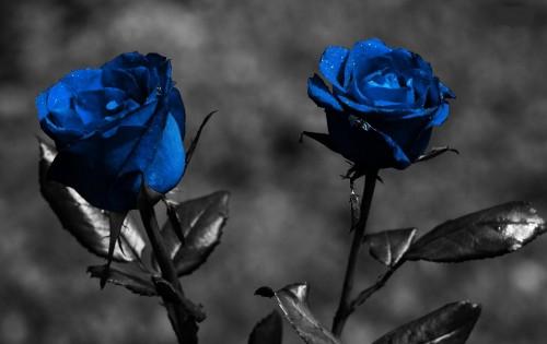 rosas5 e1350880635533 Imagenes tiernas de rosas azules
