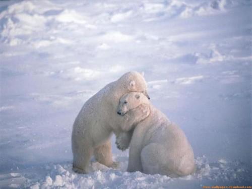 abrazo dle oso e1353958880917 Imágenes tiernas de Osos Polares
