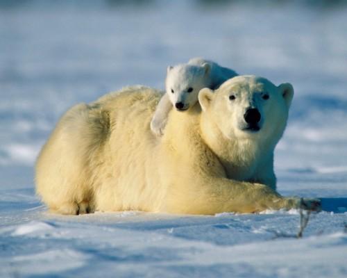 osos polares 2 e1353959089800 Imágenes tiernas de Osos Polares