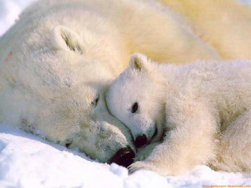 osos polares e1353959037434 Imágenes tiernas de Osos Polares