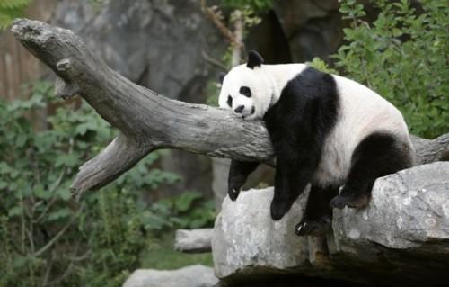 imagenes tiernas de Pandas