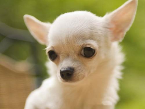 chihuahua close up e1355324686609 Imágenes tiernas de perros Chihuahua