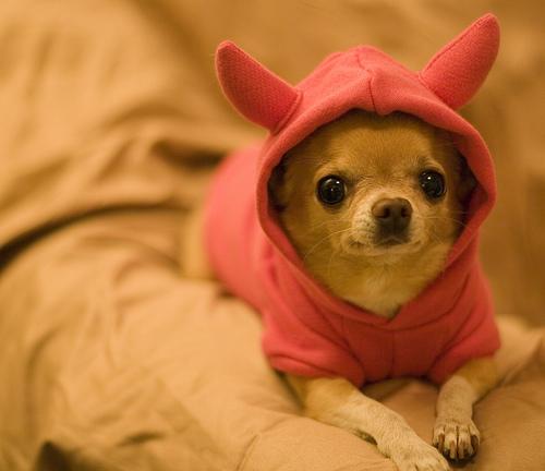 chihuahua diablito Imágenes tiernas de perros Chihuahua