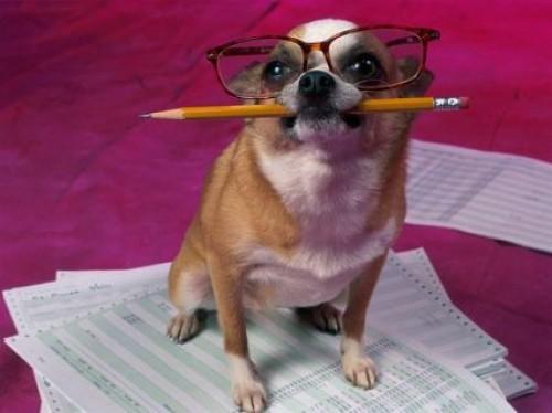 chihuahua estudioso e1355324637366 Imágenes tiernas de perros Chihuahua