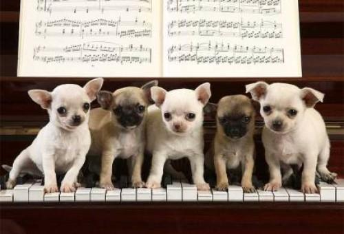 perros chihuahua e1355324497503 Imágenes tiernas de perros Chihuahua