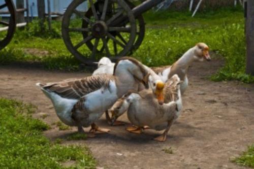 16598002 una bandada de gansos en el campo Imágenes lindas de gansos