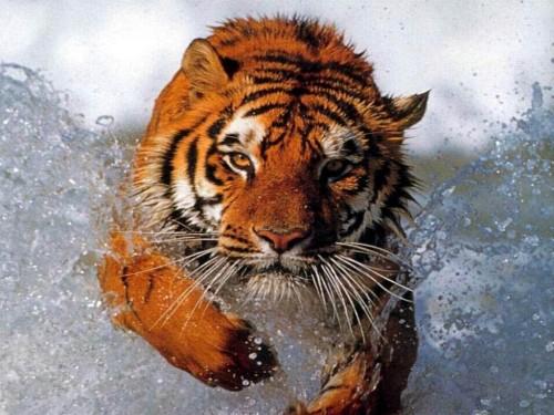 Fotos de Animales e1357396865287 Imágenes lindas de tigres
