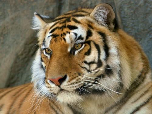 Tigre de Bengala e1357396885951 Imágenes lindas de tigres