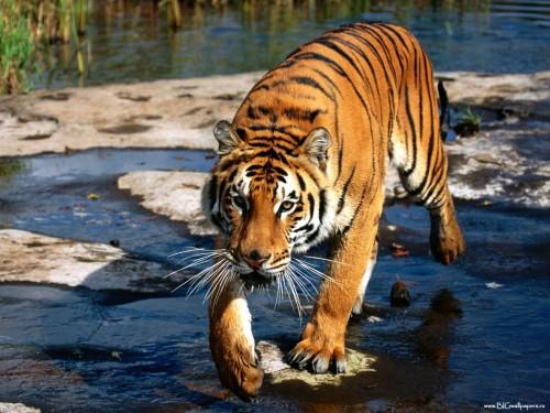 animales tigres tigre al acecho e1357396926695 Imágenes lindas de tigres