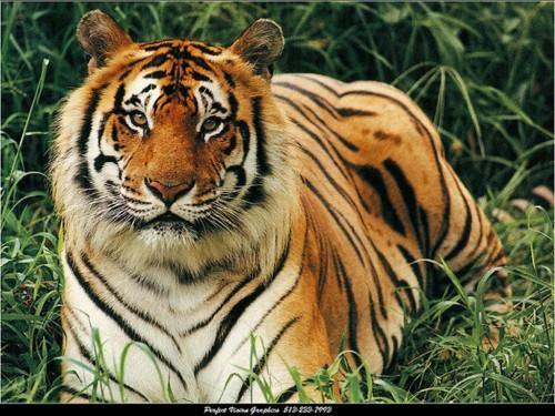 animales tigres tigre recostado e1357396909524 Imágenes lindas de tigres