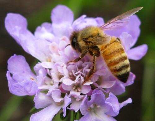 bee purple flower macro e1359537265563 Imágenes Bonitas de Abejas y Flores