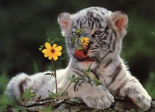 cachorros de tigre 0 e1357396844808 Imágenes lindas de tigres