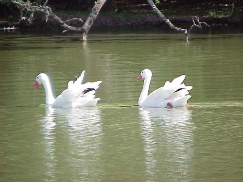 gansos 1 Imágenes lindas de gansos
