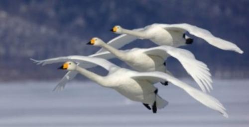 vuelo de gansos  Imágenes lindas de gansos