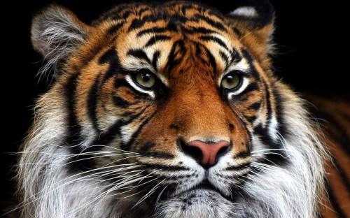 wallpapers de tigres e1357396803541 Imágenes lindas de tigres