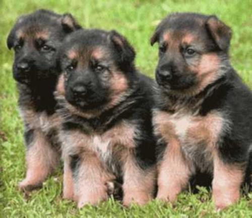 1267644908 77898972 1 cachorros pastor aleman altamira Imágenes Bonitas de cachorros Pastor Alemán