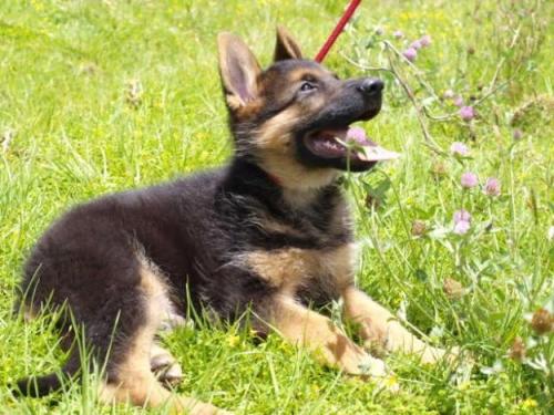 1302997894 182344939 4 Pastores Alemanes Cachorros Compra Venta Imágenes Bonitas de cachorros Pastor Alemán