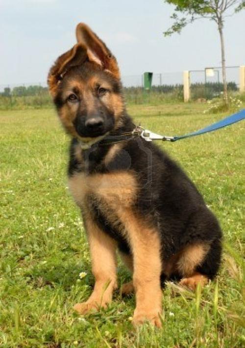 925462 cachorro pastor aleman Imágenes Bonitas de cachorros Pastor Alemán