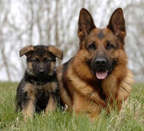 Pastor Alemán cachorro1 Imágenes Bonitas de cachorros Pastor Alemán