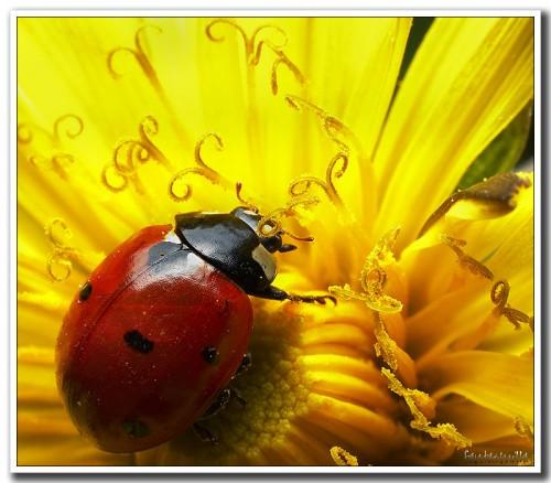 mariquita roja e1361824573374 Imágenes Lindas de Mariquitas