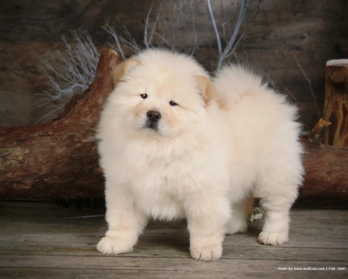 Chow Chow Puppy Wallpaper puppies 13936840 1280 1024 Imágenes Lindas de perros Chow Chow