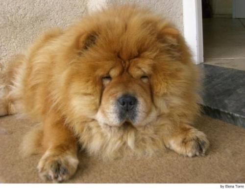 Chow Chow 6822 Imágenes Lindas de perros Chow Chow