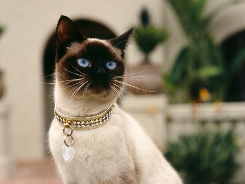 estandar gatos siameses Imágenes Lindas de Gatos Siameses