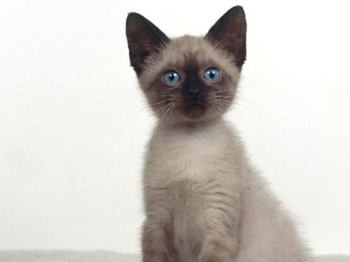 gato siames Imágenes Lindas de Gatos Siameses