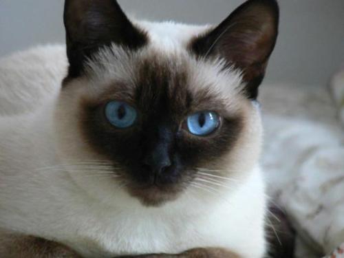 gato siames 0 Imágenes Lindas de Gatos Siameses
