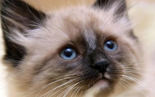 gatos balineses Imágenes Lindas de Gatos Siameses