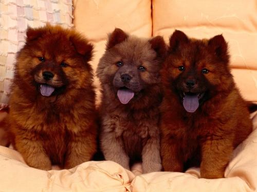 m perros chow chow.html Imágenes Lindas de perros Chow Chow