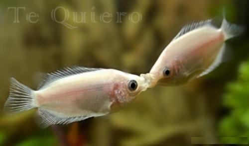 20090213113912 beso peces te quiero Imágenes de Besos Animales