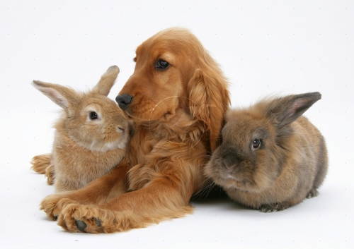 21855 Red English Cocker Spaniel with two rabbits white background Imágenes Tiernas de Cocker Spaniel
