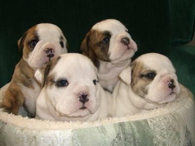 cachorros bulldog ingles Lindos Cachorritos